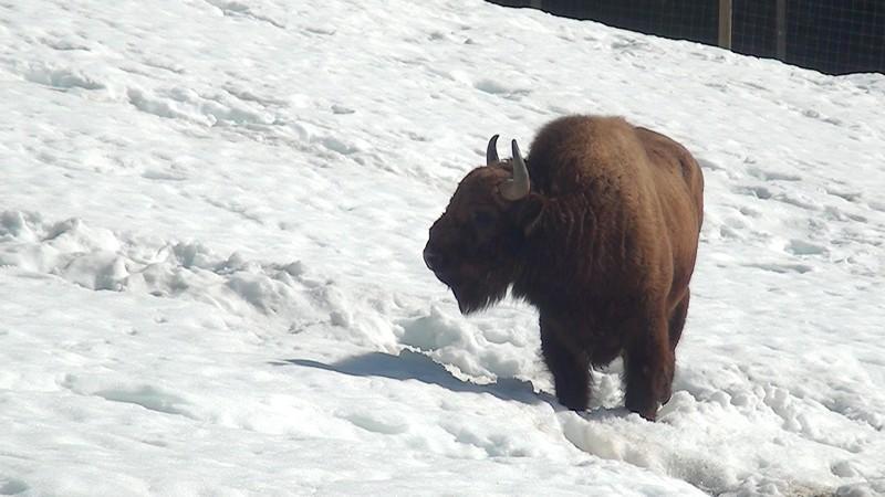 CdR83 GTJ raquettes bison parc polaire