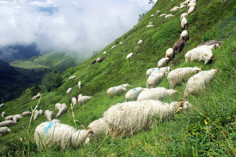 Trek des 3 Vallées, Béarn, Vallée d'Aspe, col d'Iseye, agropastoralisme, brebis